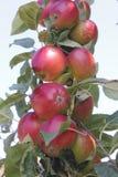 Okanagan Apples Stock Image