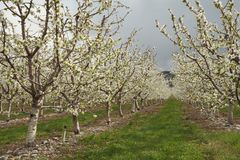 Okanagan Cherry Orchard Blossoms, British Columbia Royalty Free Stock Photo