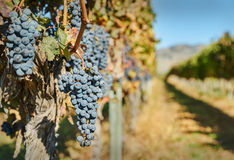 Okanagan Grapes Ready to Harvest Royalty Free Stock Photo