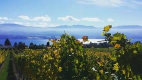 Okanagan Lake vineyard stock photos