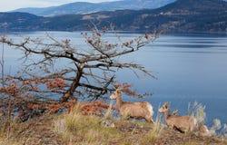 Okanagan Mountain Goats Royalty Free Stock Photos