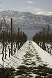 OKanagan Valley. Breath-taking view of the mountains in the distance, Okanagan Lake in the middle and the vineyard, covered in snow Stock Images