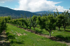 Okanagan Valley Orchard, BC Canada Royalty Free Stock Image