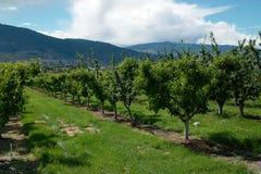 Okanagan Valley Orchard, BC Canada royalty free stock image