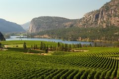 Okanagan Valley Vineyard Scenic, British Columbia. Rolling hills of vineyards in front of of Vaseux Lake and the McIntyre Bluffs in the Okanagan Valley, British Stock Photography