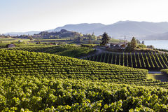 Okanagan Valley Vineyard Winery Agriculture Stock Image