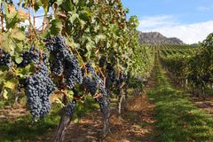 Okanagan Vineyard Ready for Harvest Royalty Free Stock Photography