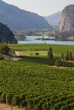 Okanagan Vineyard Scenic, British Columbia. Rolling hills of vineyards in front of of Vaseux Lake and the McIntyre Bluffs in the Okanagan Valley, British Royalty Free Stock Photos