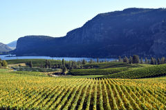 Okanagan Vineyard Winery British Columbia. Vineyard in Okanagan Falls, British Columbia, Canada with Vaseux Lake and McIntyre Bluff in the background. McIntyre Stock Image