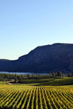 Okanagan Vineyard Winery British Columbia. Vineyard in Okanagan Falls, British Columbia, Canada with Vaseux Lake and McIntyre Bluff in the background. McIntyre Stock Photography