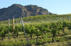 okanagan vingård för brittiska columbia morgon Arkivfoton