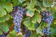 Okanagan Wine Grapes Stock Photos