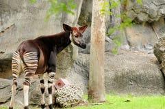 Okapi σε έναν ζωολογικό κήπο Στοκ φωτογραφία με δικαίωμα ελεύθερης χρήσης