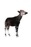 Okapi Royalty Free Stock Image
