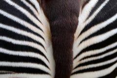 okapi стоковые изображения rf
