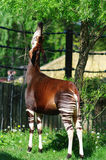 Okapi Royalty Free Stock Images