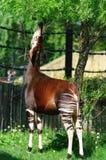 Okapi. Eats leafs from tree Royalty Free Stock Images