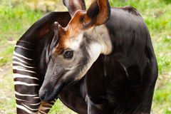 Okapi Stockfotos