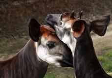 Okapi. Male And Female Okapi Showing Affection Stock Photography
