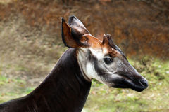 Okapi. Male Okapi Posing And Looking Right With Green and Brown Background Stock Photography