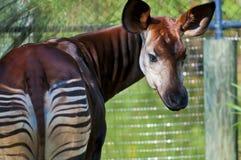 Okapi Imagens de Stock