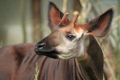 Okapi. The detail of upper body of okapi Royalty Free Stock Image