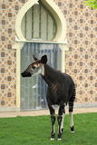 Okapi Royalty Free Stock Photography