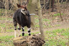 Okapi. The adult okapi with stuck out tongue Royalty Free Stock Photography