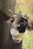 Okapi. The detail of adult okapi eating the branch Stock Images
