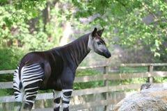 Okapi. In paddock. Giraffe like animal grazes in Berlin zoo, Germany Royalty Free Stock Photo