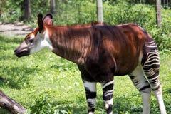 Okapi Royaltyfria Bilder