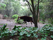 Okapi Photographie stock