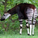 Okapi Arkivbild