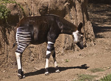 Okapi. This is the picture of an Okapi found in the Ituri rain forest of Africa Royalty Free Stock Images