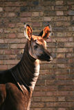 Okapi. Portrait, brick wall at the background royalty free stock photos