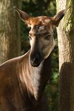 Okapi. The Okapi has a striped backside, is related to giraffe and lives in Congo, Africa Stock Photography