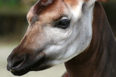 Okapi. Close up of head of an Okapi Royalty Free Stock Images