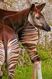 okapi Royalty-vrije Stock Foto's
