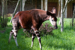 Okapi Stock Photos