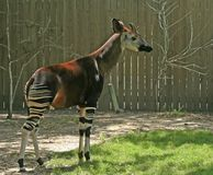 Okapi. In backyard with fence in the background stock images