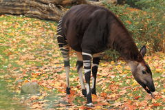 Okapi. The adult okapi female in the grass Royalty Free Stock Photos