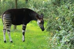 Okapi. Adult okapi standing in the grass Royalty Free Stock Photography