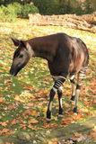 Okapi. The adult okapi strolling in the grass Royalty Free Stock Images