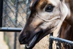 Okapi. Animal in San Diego Zoo Royalty Free Stock Photo