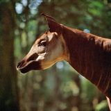 Okapi Royalty Free Stock Photos