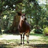 Okapi. Antelope jungle congo africa tree forest muzzle sunrise Royalty Free Stock Photos