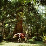 Okapi. Antelope jungle congo africa tree forest muzzle sunrise Stock Images