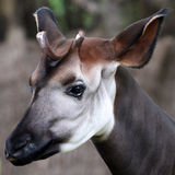 Okapi. Beautyful portrait of an Okapi Stock Photo