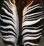 Okapi behind. Okapi (Okapia johnstoni)behind with zebra-like stripes Royalty Free Stock Image