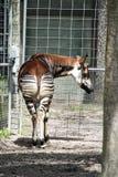 Okapi from Behind Royalty Free Stock Photo